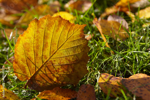 autumn, fallen leaf of hazelnut