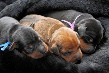 Miniature Pinscher puppies, 5 day old