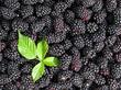 Brombeeren - Rubus sectio Rubus