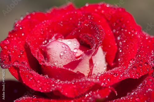Close-Up of a red rose with water drops on petals