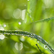 grass and dew drops