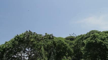 Magnificent Frigate Birds ,Panama, Central America