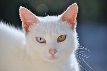 Gatto con occhi di diverso colore