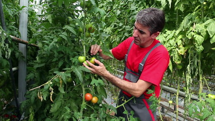Farmer Checking His Tomato Crop
