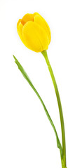 artificial Tulip on white background