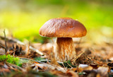 Fototapety Cep Mushroom Growing in Autumn Forest. Boletus