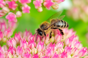Bee Pollinating Pink Sedum Flowers