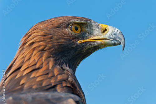 Golden Eagle Head Profile