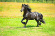 Black Friesian horse runs trot on the meadow in summer