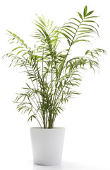 Potted Plant - Table Top Palm