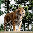 Mature Bengal Tiger Standing on Wooden Platform
