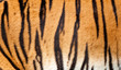 Real Tiger Fur Texture Striped Pattern Background
