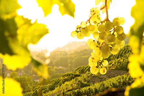 Fotobehang Wijn Weintrauben im Weinberg
