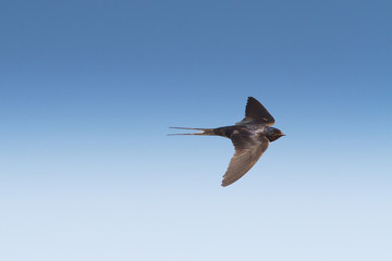 barn swallow in flight  / Hirundo rustica