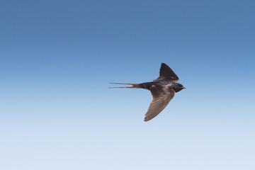 barn swallow in flight  / Hirundo rustica