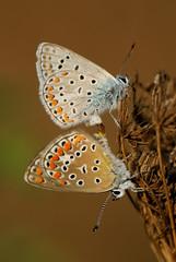 Accoppiamento farfalle