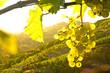 Weinstock im Gegenlicht