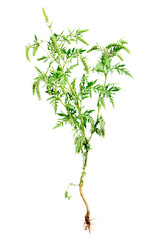 Ragweed plant with root isolated on white, common allergen