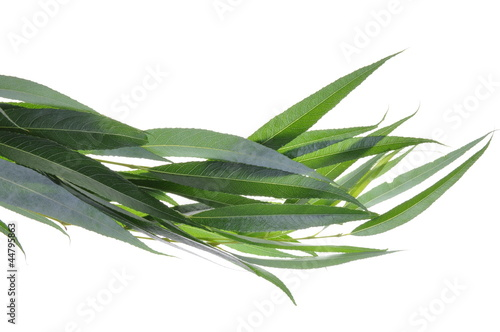 Willow tree leaves isolated on white background