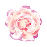 Pink beautiful rose. Vector illustration.