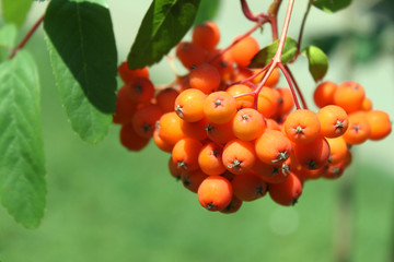 ashberry tree