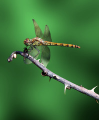 dragonfly on dry branch over green background