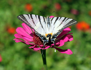 butterfly (Scarce Swallowtail) on flower (zinnia)