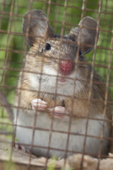 Brown rat, Rattus norvegicus captured in humane trap