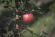 Постер, плакат: Яблоко