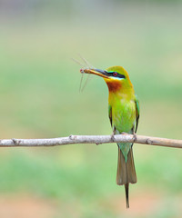Blue tailed Bee eater bird