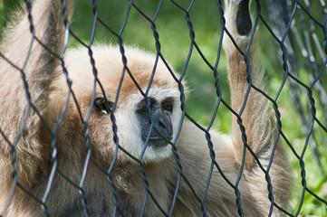 gibbone appeso