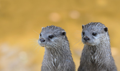 Two vigilant Asian Small-clawed Otter (Aonyx cinerea)