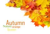Fototapety autumn maple