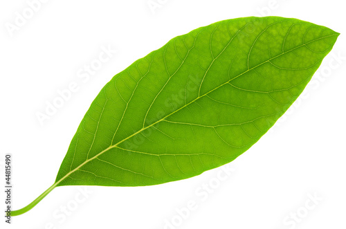 Avocado leaf big size