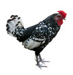 white and black isolated rooster