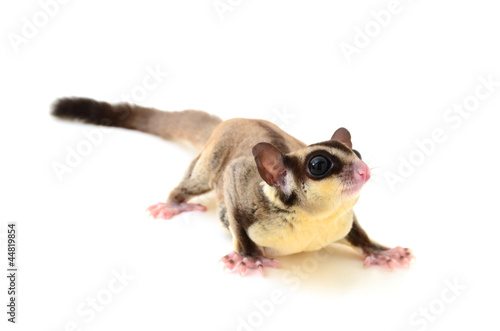 Flying squirrel isolated on white
