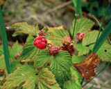 Mountain raspberry