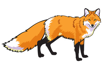 standing red fox