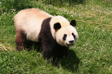 Panda in Zoo de Beauval