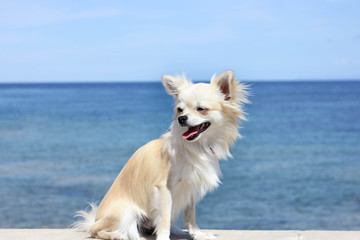 chihuahua at the beach