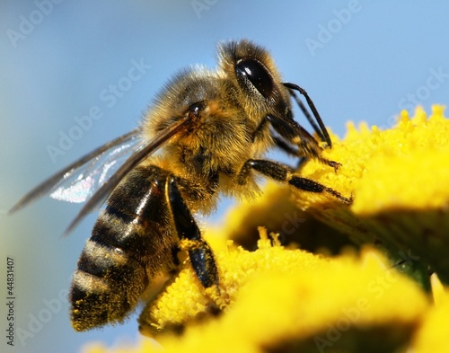 Foto op Plexiglas Bee honeybee pollinated of yellow flower
