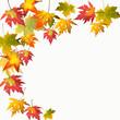 Farben des Herbstes: Bunte Ahorn-Blätter