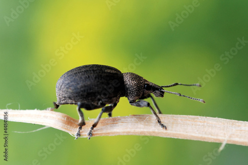 Ground Weevil