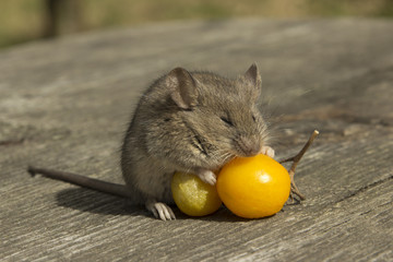 Small mouse with the tomato