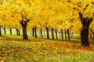Forest View Trees of Yellow in Pague