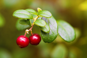 Cowberry closeup in nature