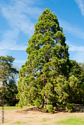 Giant sequoia in Bagatelle gardens, Paris