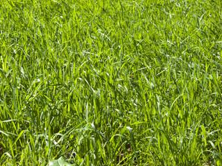 Close up of lush, green, growing grass