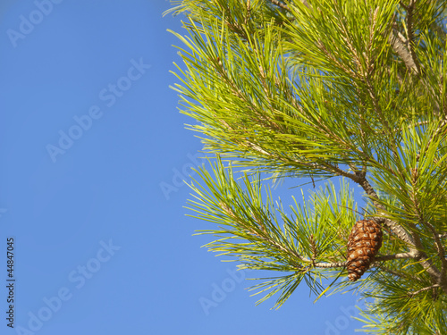 Close up of pine cone growing on pine tree