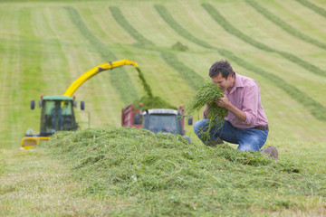 Farmer smelling pile of green hay in field with tractors